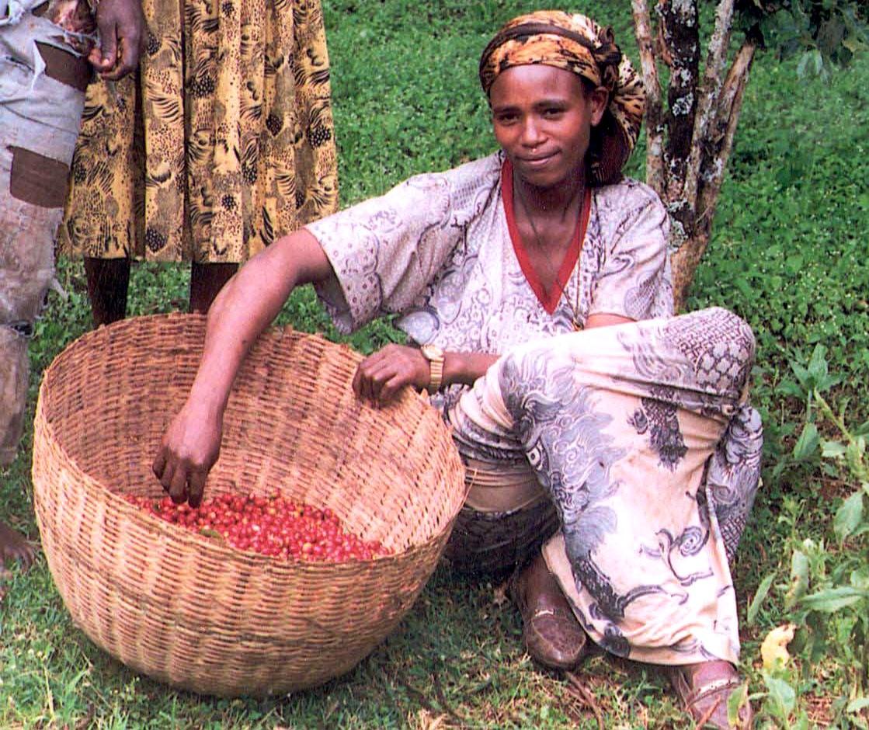 récolte du café en Éthiopie