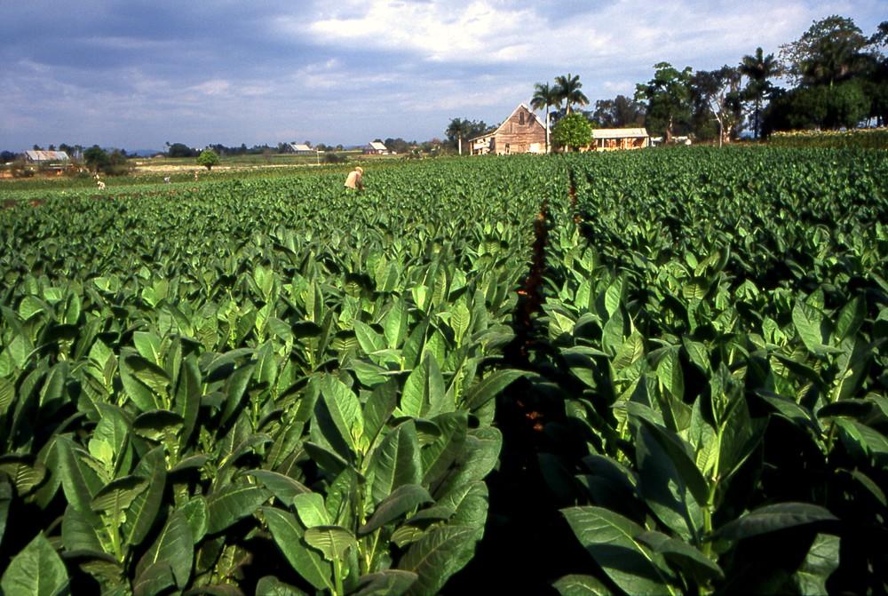 Tabac de Cuba