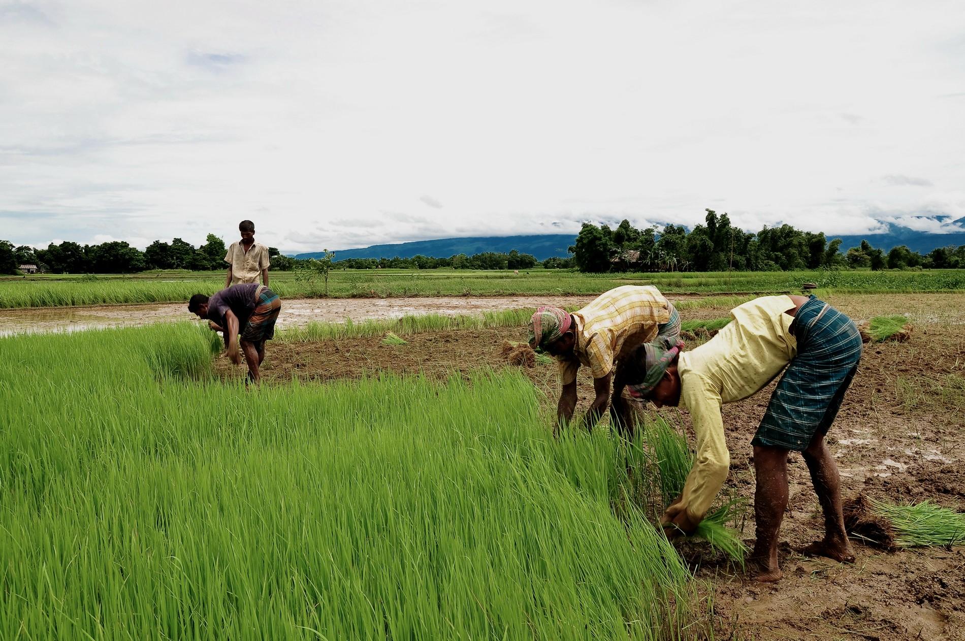 Agriculture Humanitaire au Bangladesh